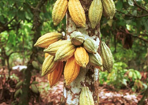 Cacao in the world